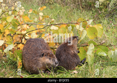 American Beaver, Canadian Beaver (Castor canadensis), adult and one year old youngster on a bank, next to branches. - Stock Photo