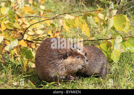 American Beaver, Canadian Beaver (Castor canadensis), adult and one year old youngster on a shore, next to branches. - Stock Photo