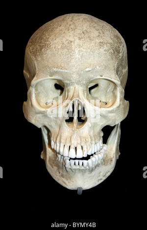 Front View Of A Human Skull Cast - Stock Photo