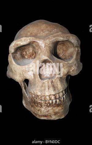 Homo erectus Skull Cast (Peking Man) Choukoutien, China