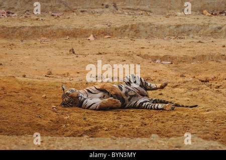 2.5-year-old male Bengal Tiger relaxing on the dry bed of a man-made waterhole in Bandhavgarh Tiger Reserve, India - Stock Photo
