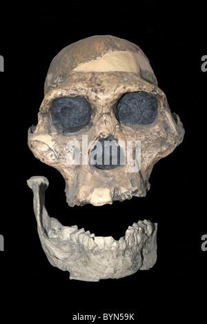 Australopithecus africanus Skull Cast (Mrs Ples) Sterkfontein, Transvaal, South Africa