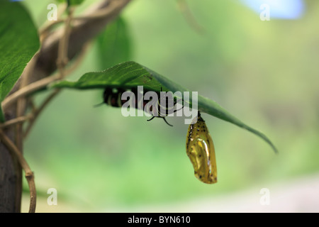 Larva Of Rice Paper Butterfly - Stock Photo