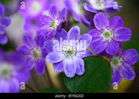 Primrose Flowers - Stock Photo