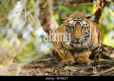 3.5-year-old female Bengal Tiger squatted taut and watching on from atop a rock at eye-level in Bandhavgarh Tiger - Stock Photo
