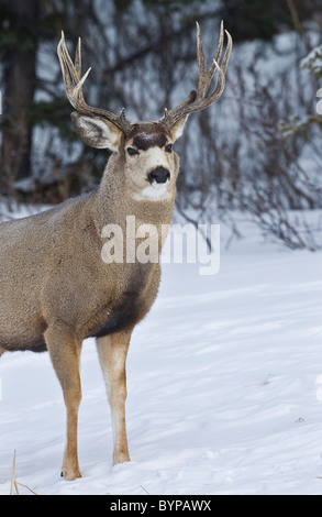 A mule deer buck standing in the falling snow. - Stock Photo