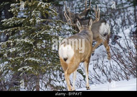 Two adult mule deer bucks walking away through the brush and snow. - Stock Photo