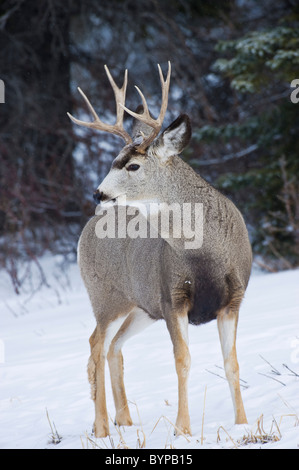 A vertical portrait of a mule deer buck standing in the lightly falling snow. - Stock Photo