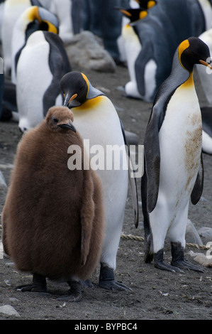 King penguins with chick, Aptenodytes patagonicus, at Sandy Bay on Macquarie Island, Australia - Stock Photo