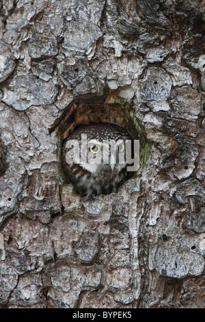 Sperlingskauz, Glaucidium passerinum Eurasian pygmy owl Glaucidium passerinum tree hole - Stock Photo