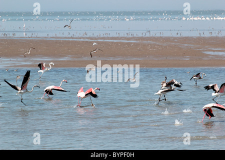 Flamingo birds in Rann of Kutch, Gujarat, India - Stock Photo