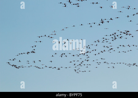 A flock of flamingo birds flying in the air - Stock Photo