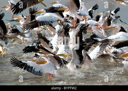 A groupf of great white pelican ( pelecanus onocrotalus) birds in Rann of Kutch, Gujarat, india - Stock Photo