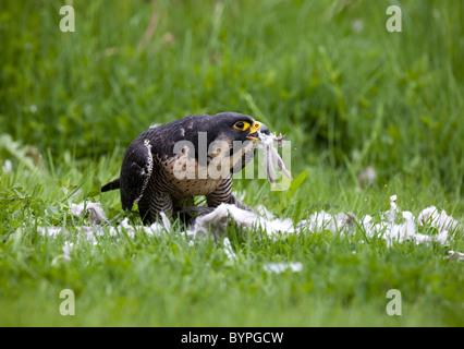 Wanderfalke (Falco peregrinus) rupft Taube, peregrine Falco peregrinus - Stock Photo