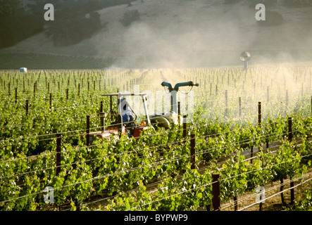 Agriculture - Application of sulfur on red wine grapevines in Spring in late afternoon sunlight / Napa Valley, California, - Stock Photo