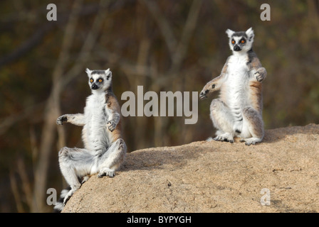 A pair of Ring-tailed Lemurs sunbathing in the Anja Reserve, Madagascar - Stock Photo