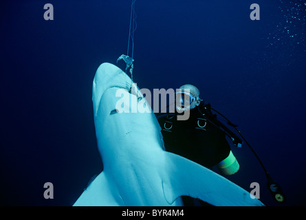 Diver examines Oceanic Blacktip Shark (Carcharhinus limbatus) hooked on long-line, Cocos Island, 320 miles off Costa - Stock Photo