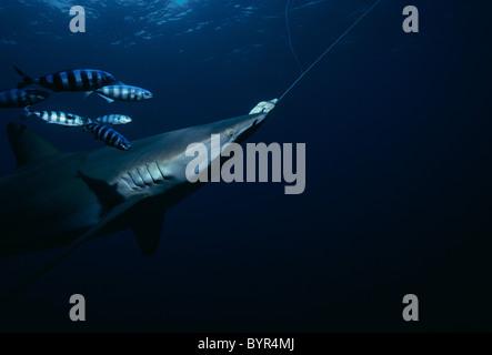 Pilot Fish (Naucrates ductor) school around hooked Oceanic Blacktip Shark (Carcharhinus limbatus) swimming on long - Stock Photo