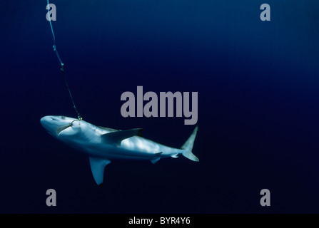 Live Oceanic Blacktip Shark (Carcharhinus limbatus) hooked on long line, Cocos Island, Costa Rica - Pacific Ocean. - Stock Photo