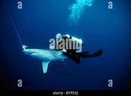 Diver examining live hooked Oceanic Blacktip Shark (Carcharhinus limbatus). Cocos Island, Costa Rica - Pacific Ocean - Stock Photo