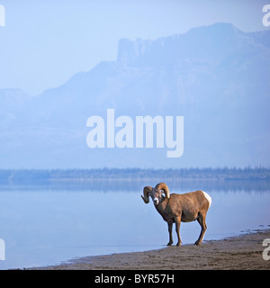 bighorn sheep (ovis canadensis) on water's edge in banff national park; alberta, canada - Stock Photo
