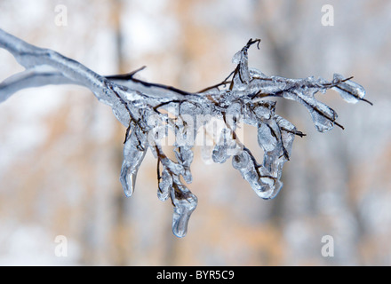 An iced up twig after an ice storm in winter - Stock Photo