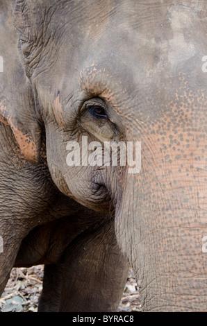 Sri Lanka, Pinnawala Elephant Orphanage. Asian elephant aka Indian elephant (Elephas maximus ) face detail. - Stock Photo