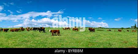 Livestock - Mixed breeds of beef cattle on a green pasture; Hereford, Black Baldie and Crossbred / Hawaii, Hawaii, - Stock Photo