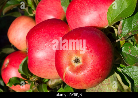 Agriculture - Closeup of mature, harvest ready Sierra Beauty apples on the tree / Fortuna, California, USA. - Stock Photo