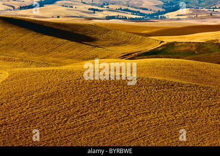 Rolling hills of mature wheat ready for harvest in late afternoon light / near Pullman, Palouse Region, Washington, - Stock Photo