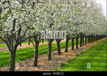 Agriculture - Apple orchard in full bloom / near Ste. Catherines, Ontario, Canada. - Stock Photo