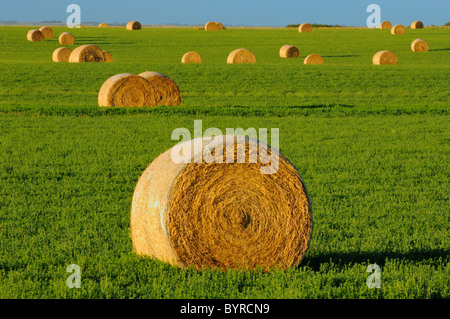 Agriculture - Round bales of alfalfa hay in the field / near Estevan, Saskatchewan, Canada. - Stock Photo