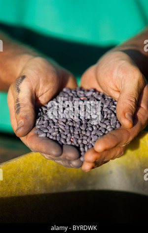 Livestock - Farmer holding cotton seed treated with fungicide / Childress, Texas, USA. - Stock Photo