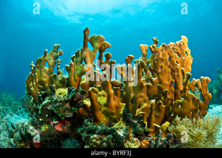 Coral reef in Honduras with Blade fire coral - Stock Photo