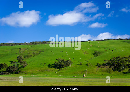 Green farmland with cows dotted over hills - Stock Photo
