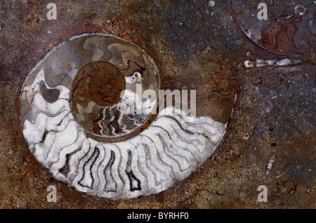 Polished rock of colorful fossils of ammonite spiral shells from Morocco - Stock Photo