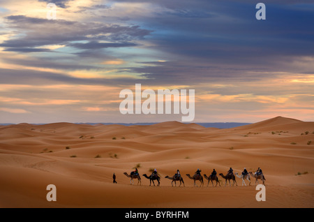 Berber guide leading a group of tourists on camels into the Erg Chebbi desert for a night ride Morocco - Stock Photo