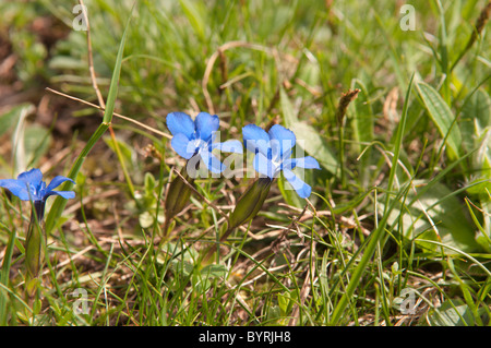 Spring gentian. Gentiana verna. The Pryenees. France. June. - Stock Photo