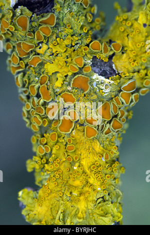 Lichen growing on an Apple tree branch - Stock Photo