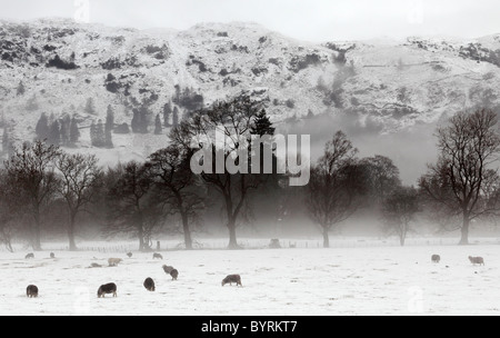 Sheep grazing in snow covered field, 'Lake District' 'National Park' winter scene, Grasmere, Cumbria, England, UK - Stock Photo