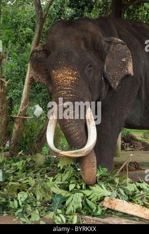 Sri Lanka, Pinnawala Elephant Orphanage. Large blind male elephant injured by being shot. - Stock Photo