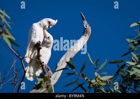 Pair of Little Corellas (Cacatua sanguinea) - Stock Photo