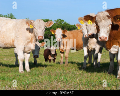 Livestock - Curious mixed breed beef cows on a green pasture / Alberta, Canada. - Stock Photo