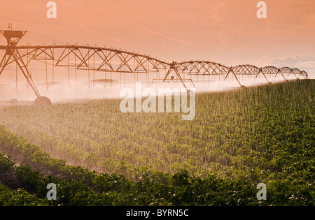 Agriculture - A center pivot irrigation system irrigates a field of mid growth potatoes / Tiger Hills, Manitoba, - Stock Photo