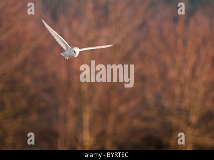 Wild Barn Owl hunting, Norfolk - Stock Photo