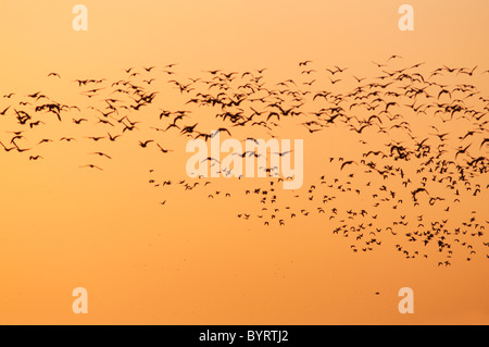 Hundreds of Geese take to the Dawn Sky at Burnham Overy, Norfolk - Stock Photo