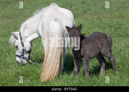 Shetland Pony mare with 3 days old foal - Stock Photo