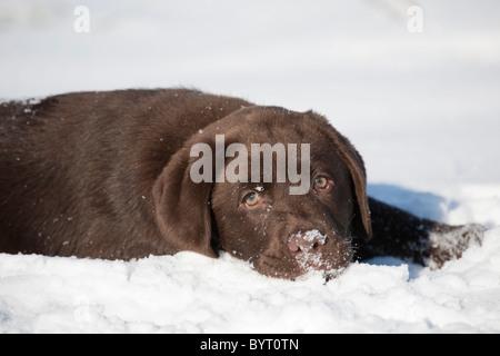 Labrador Retriever puppy in snow - Stock Photo