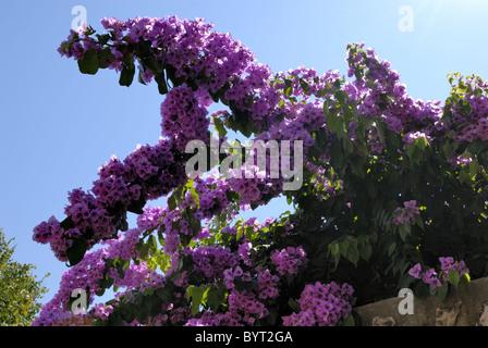 Bougainvillea pink ornamental flowers, paper flower branch ...