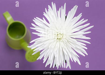 White Chrysanthemum overhead - Stock Photo